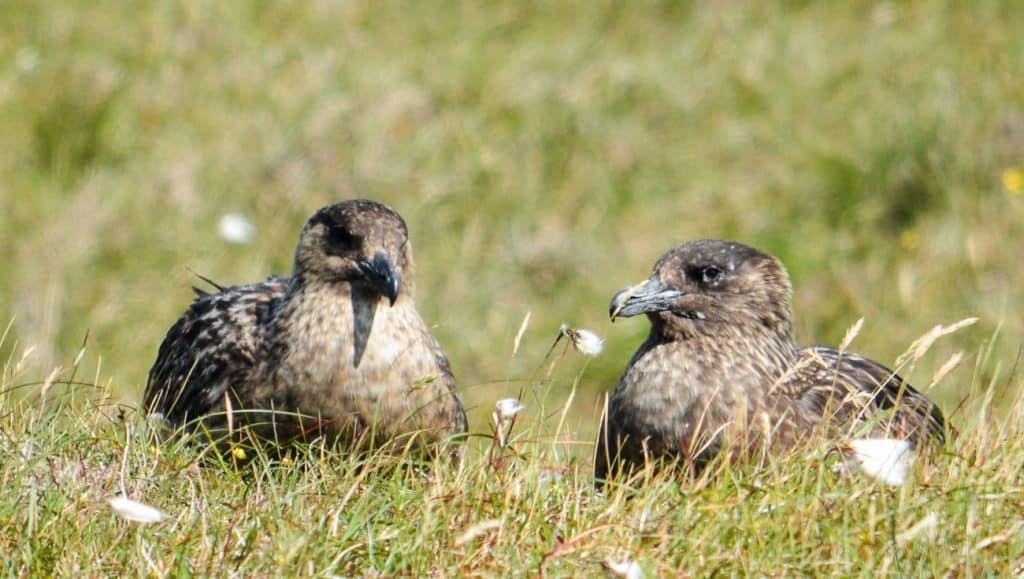 Hermaness Nature Reserve Unst Shetland