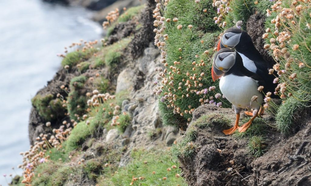 Puffins at Sumburgh Lighthouse Shetland