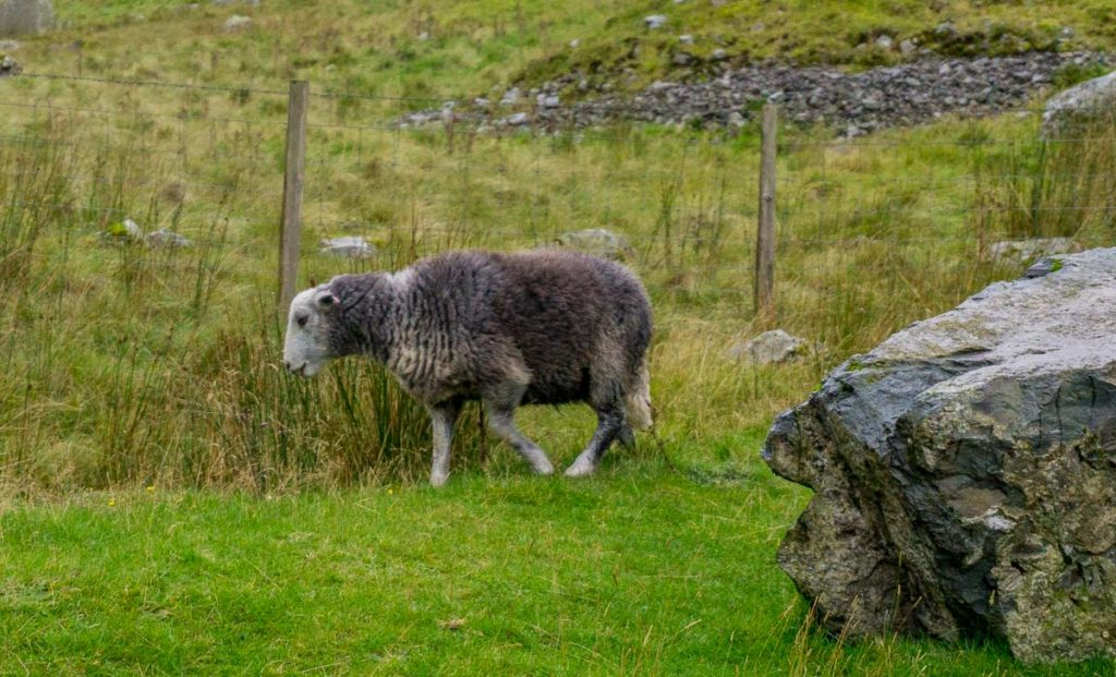 Lake District Herdwick Sheep