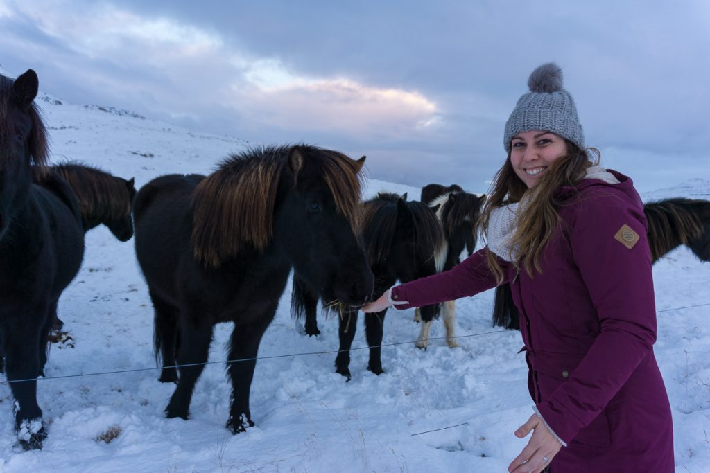 Iceland in winter - Icelandic horses