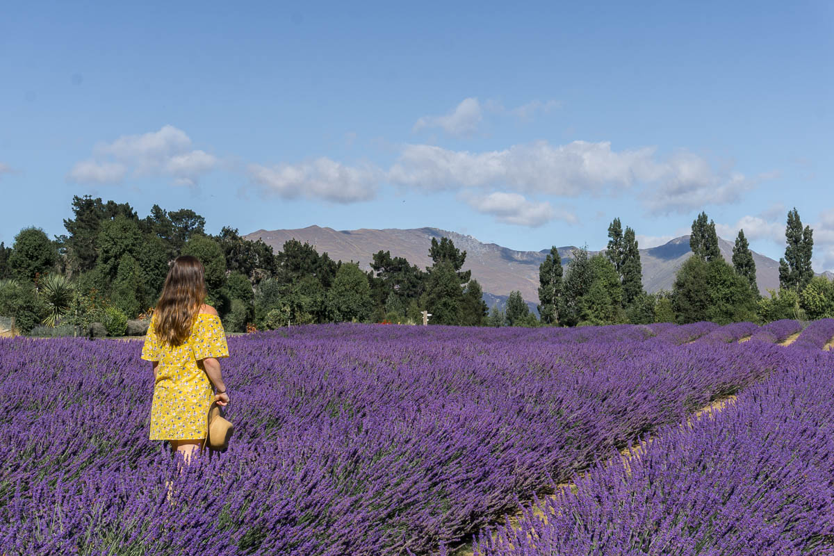 Visit Wanaka Lavender Farm New Zealand Tips Things To Know Migrating Miss