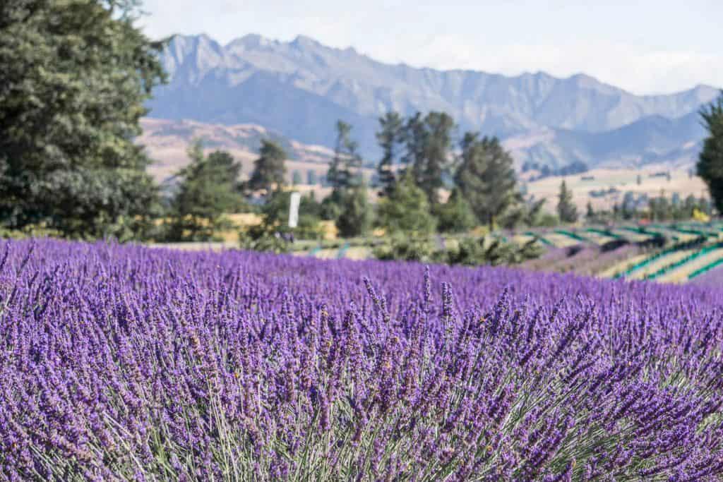 New Zealand South Island Itinerary - Wanaka Lavender Farm