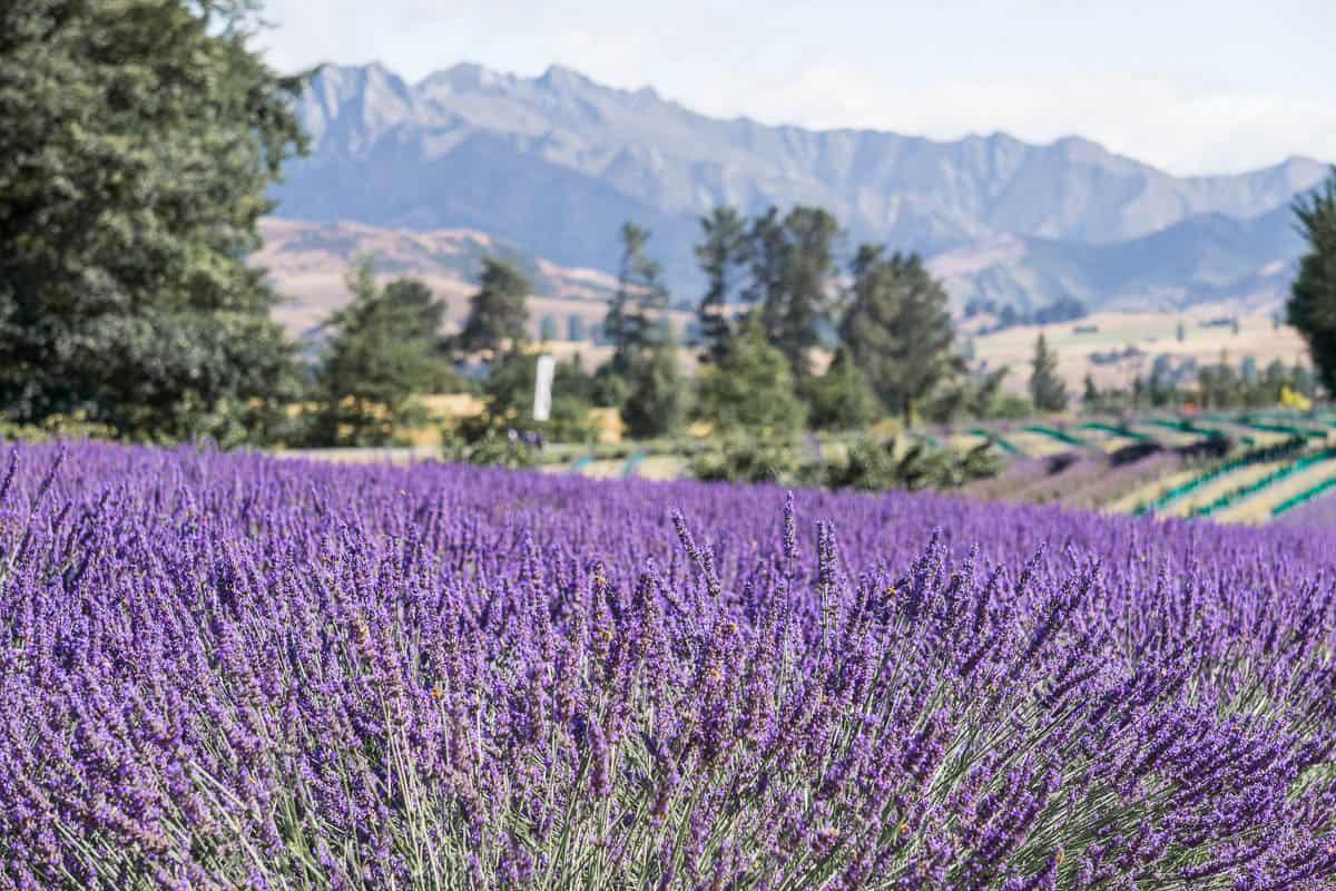 Visiting Wanaka Lavender Farm New Zealand Migrating Miss
