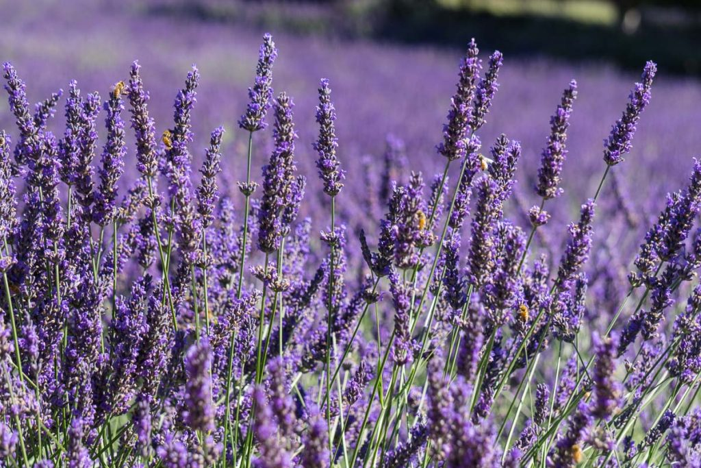 Lavender Farm Salt Spring Island