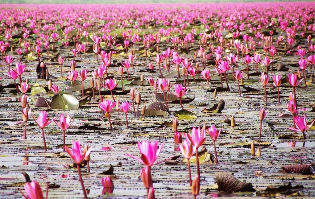 Red Lotus Sea - Beautiful Places in Thailand