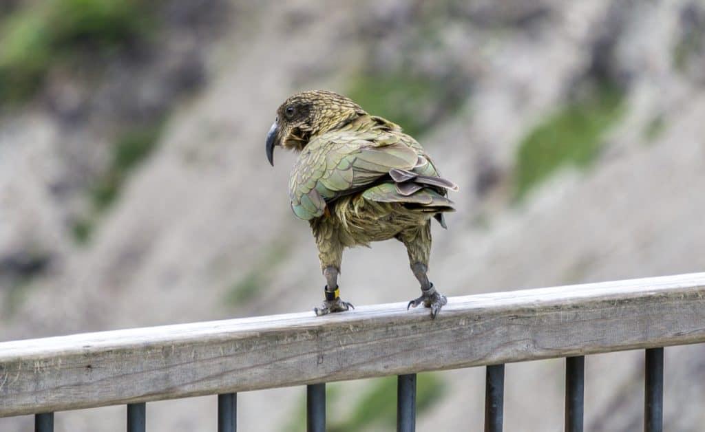 Kea in South Island New Zealand
