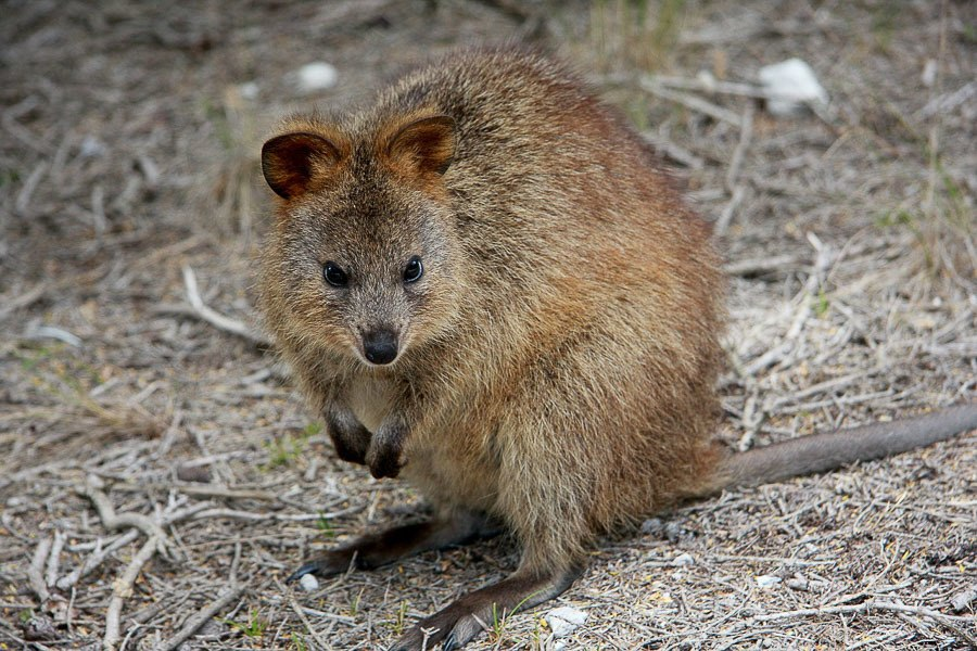 Quokka - 3 Days in Perth Itinerary