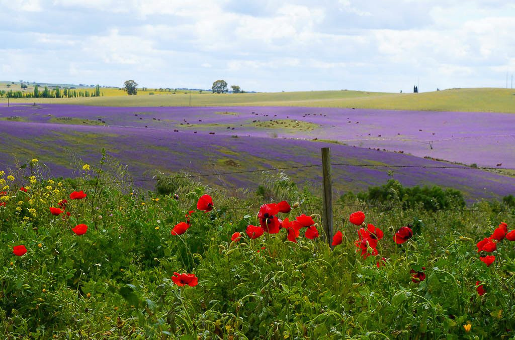 Lavender and poppy field