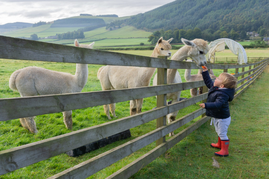 Feeding Alpacas - Things to Do in the Scottish Borders