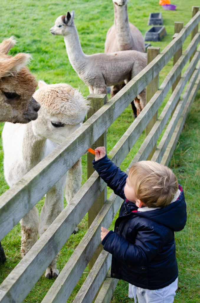 Toddler feeding carrot to Alpaca - Things to do in the Scottish Borders